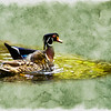 A male woodduck and female mallard swimming together.