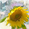 A single sunflower.