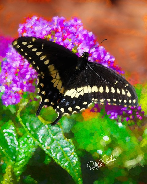 A Black Swallowtail Butterfly on pink Butterfly blossom.