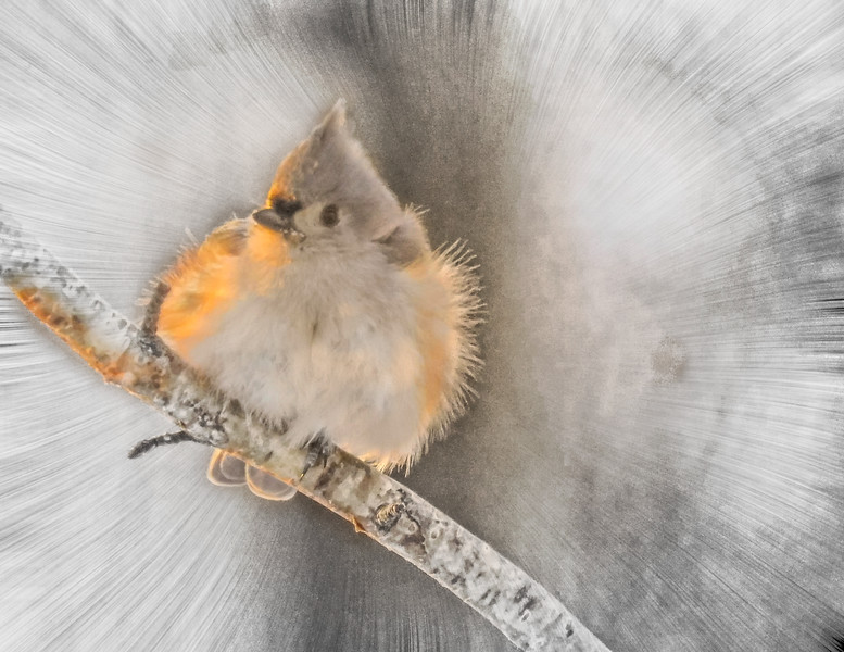 Tufted Titmouse in Winter.