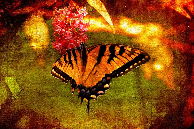 eastern Tiger swallowtail butterfly.