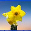 Yellow daffodil on canvas