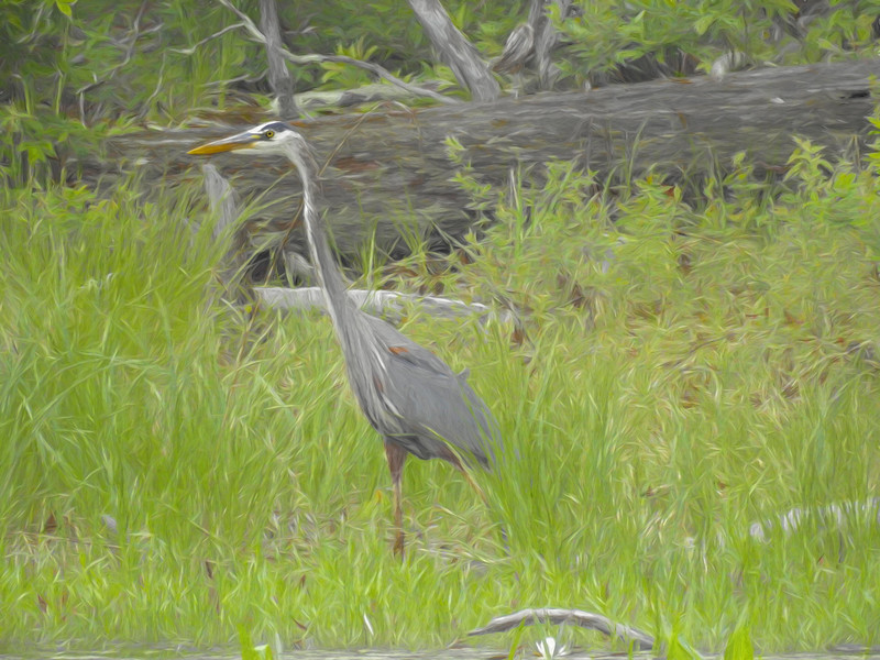 A Blue Heron stalking the marsh.