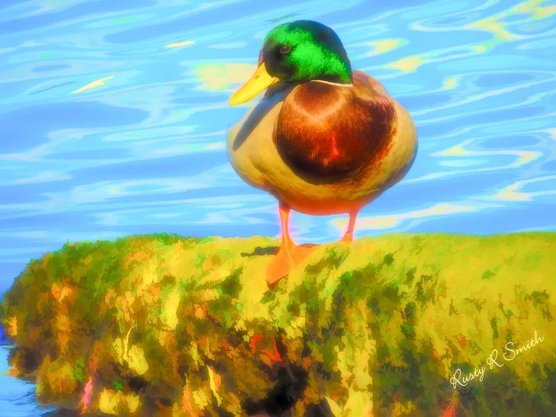 A male mallard duck posing for his portrait.