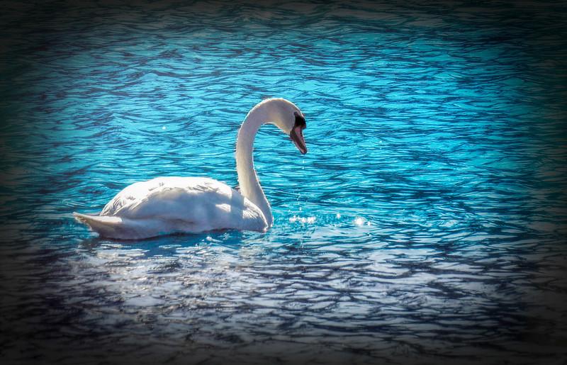 A Mute Swan swimming alone.