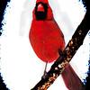 Art photograph,of Male Cardinal