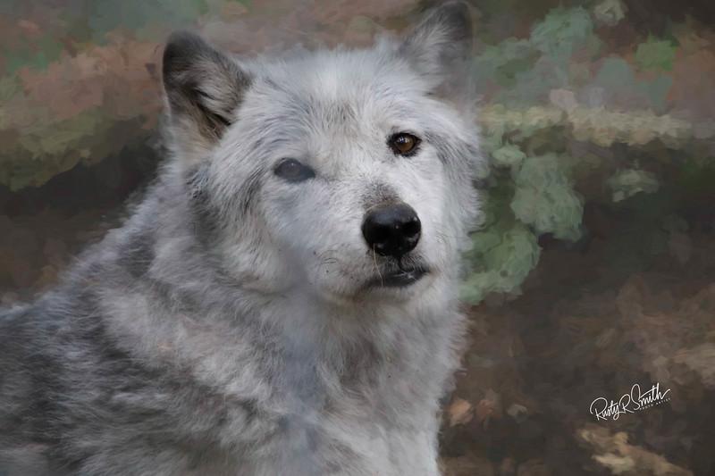 Wolf Stare.