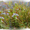 A group of grass stems and purple aster in the water. Fine art p