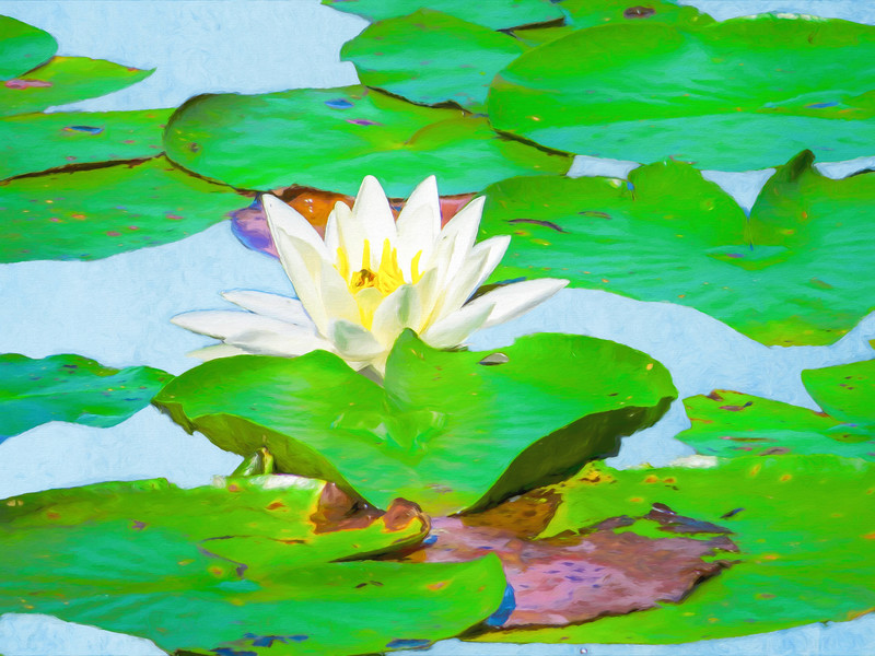 A single water lily blossom