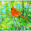Male cardinal in Juniper tree