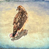 An art portrait of a Red tailed Hawk.