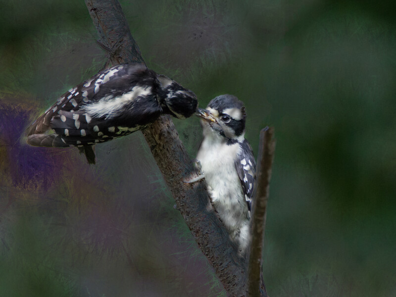 A female downy woodpecker feeding suet to a young downy.