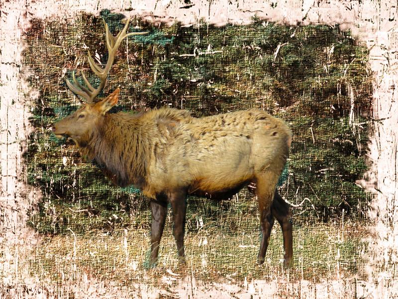Pa. Bull Elk