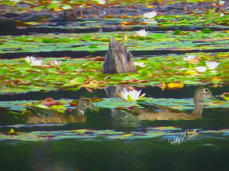 Two female Wood ducks in lily pads.