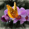 A Great Spangled Fritillary butterfly on a pink orchid.