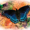 red- spotted purple butterfly