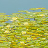 An artistic view of many lillypad blossom in a beautiful group.