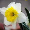 A single daffodil blossom
