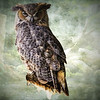 Portrait of perching Great Horned Owl