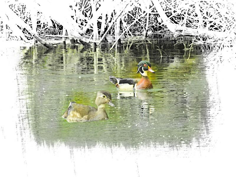 Wood duck pair swimming.