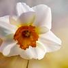 A single soft daffodil