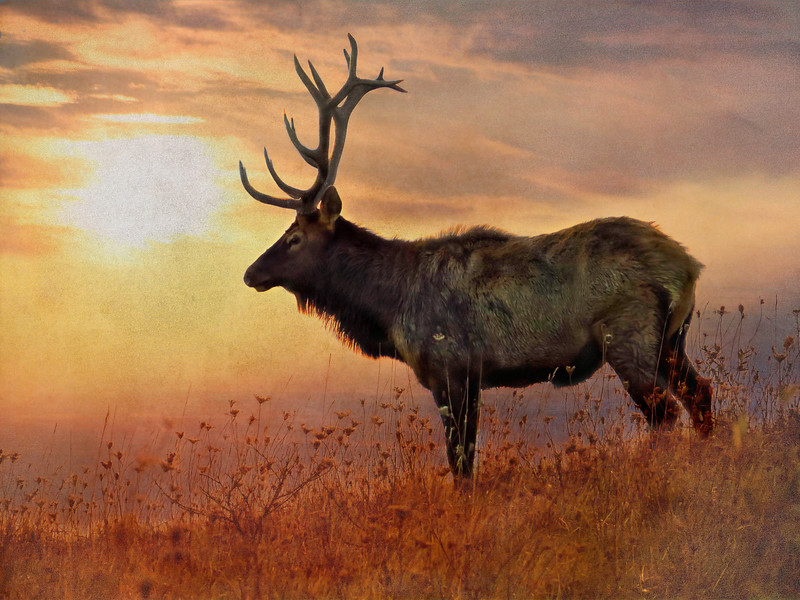 An artistic view of a large Pennsylvania Bull Elk standing alone on a hill to