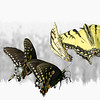 A group of swallowtail butterflies