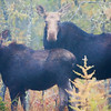 A mother moose and her calf. Staring intently at photographer.
