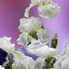 Close up White iris