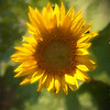 A vertical stock photograph of a single sun flower blossom, backlighting brings out the bright yellow color.