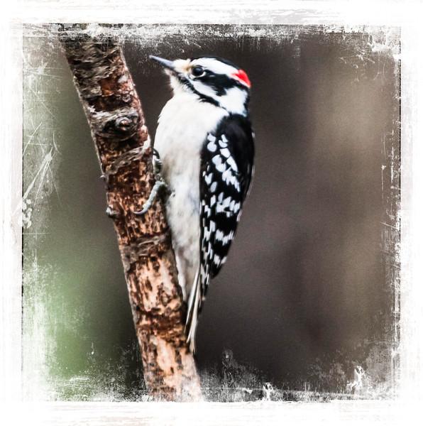 Male Hairy Woodpecker perching