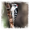 Male Hairy Woodpecker perching