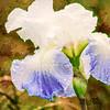 iris Blossom in the rain.