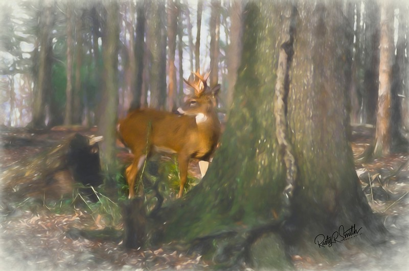 a horizontal stock photograph of  a whitetailed buck looking alertly back over his shoulder.
