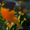 Baltimore oriole perching on group of flowers.