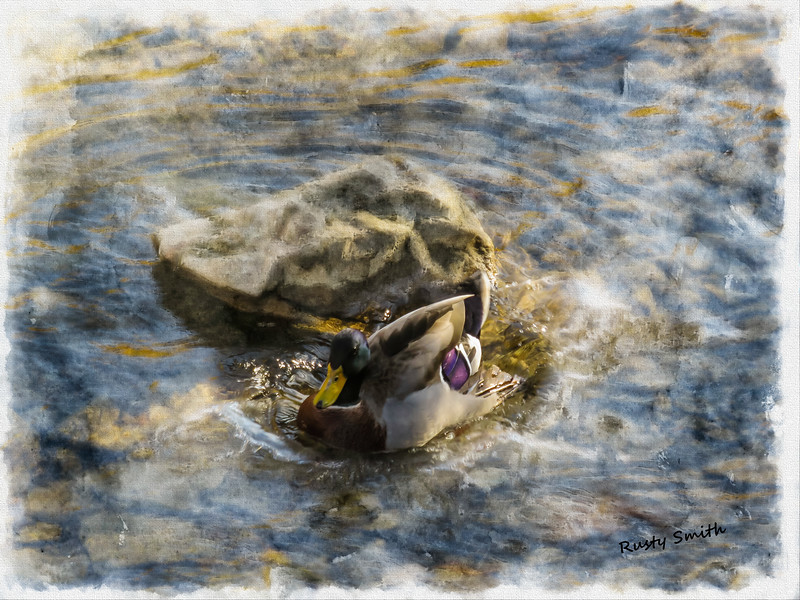Mallard splash landing