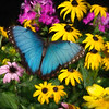 Blue Morpho Butterfly on flowers.