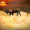The Spirit Buffalo