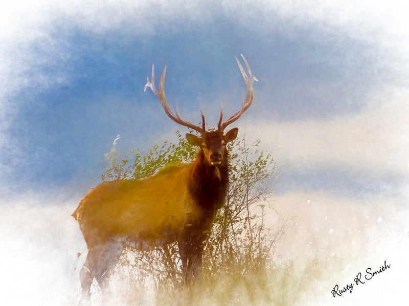 Large bull elk standing in foggy light.