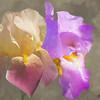 Two Iris blossoms.