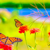 Two Butterflies working on flowers.