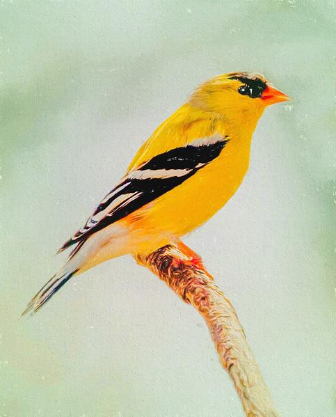 A Gold Finch Perching