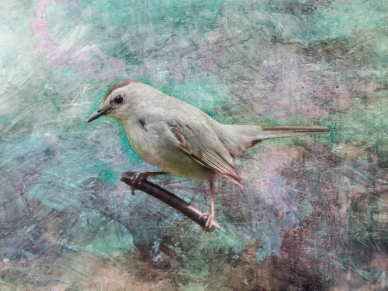 A Grey Catbird