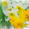 A soft group of yellow and white daffodiles.