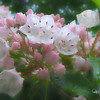 Soft art photograph of mountain laurel in the rain.