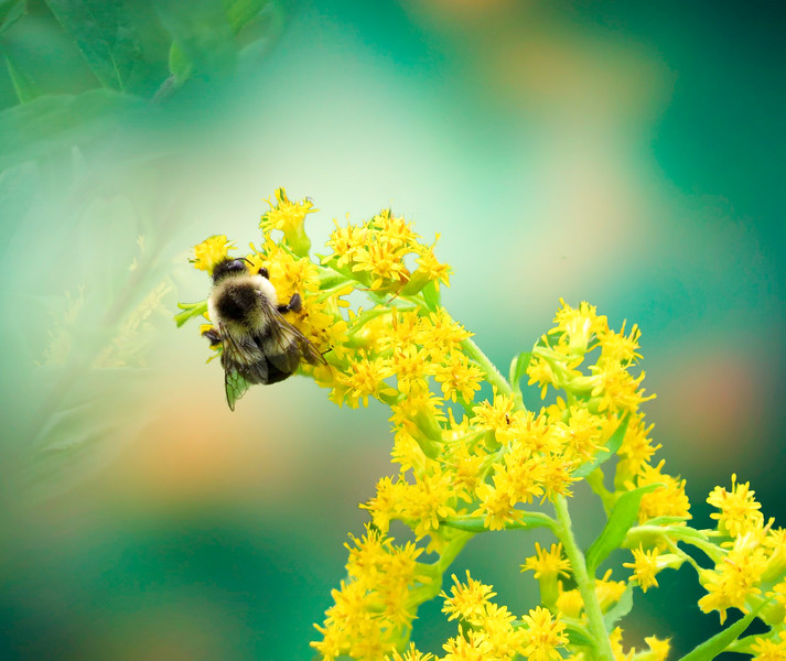 A busy bee on a yellow flower