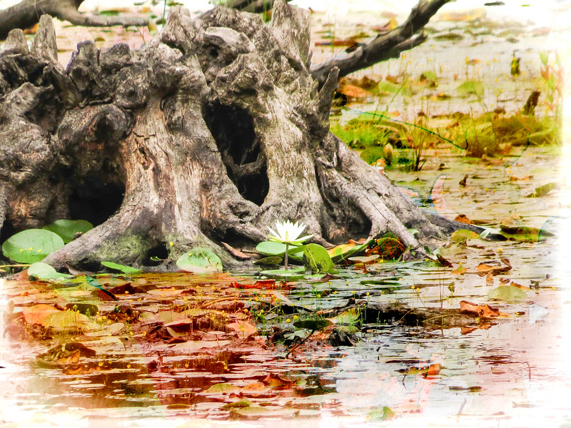 A single water lilly growing in front of old stump in water.