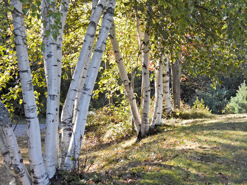 Digital art photograph of A group of white birch trees