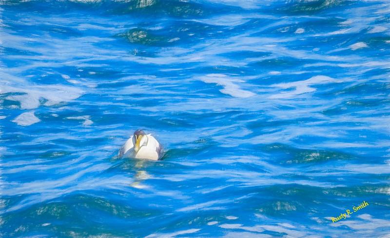 common Eider duck,blue ocean water.