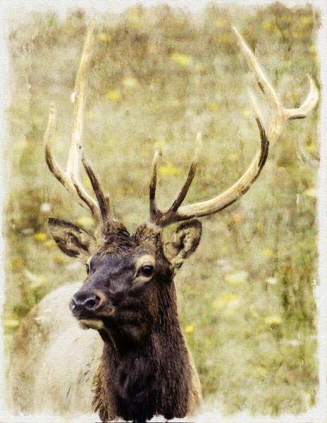 Bull Elk closeup
